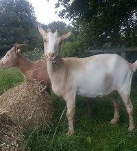 Mleko i sery kozie