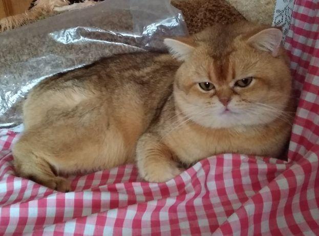 Золотая шиншила кот на вязку