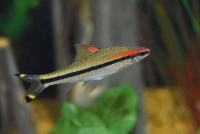 Brzanka Denisona Młoda ryba 5 cm Sklep Zoologiczny ALTUM