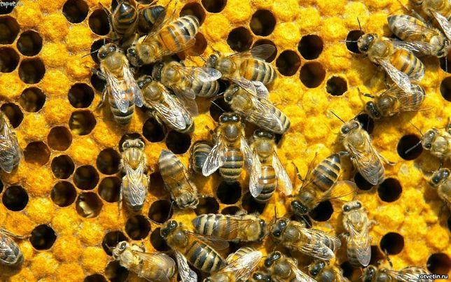 Пчелопакеты.Пчелиная матка.Бджолопакети.Карпатка, Карніка!!!