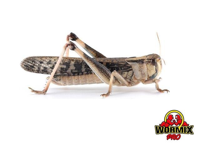 Живой корм для рептилий - Саранча перелётная 20 шт. Кормовые насекомые