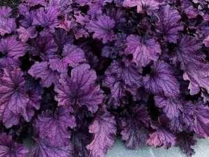 sadzonka żurawka Forever Purple p12
