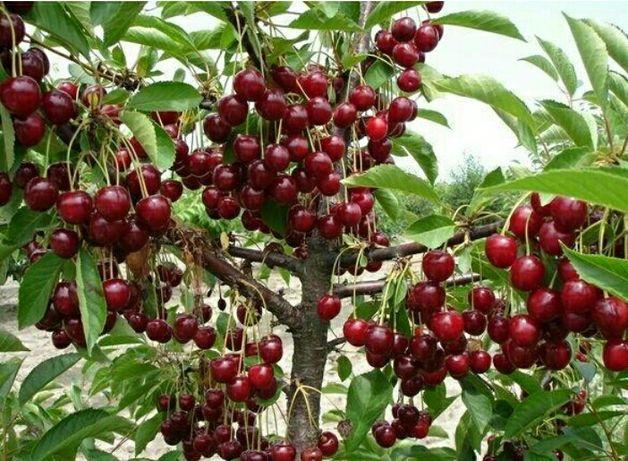 Продам деревья, саженцы вишни лотовка и орех грецкий большой