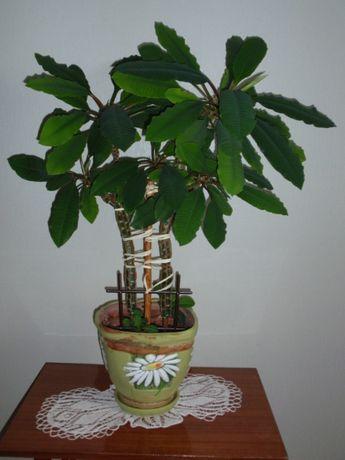 Молочай біложилковий Пальма Молочай беложильчатый Euphorbia leuconeur