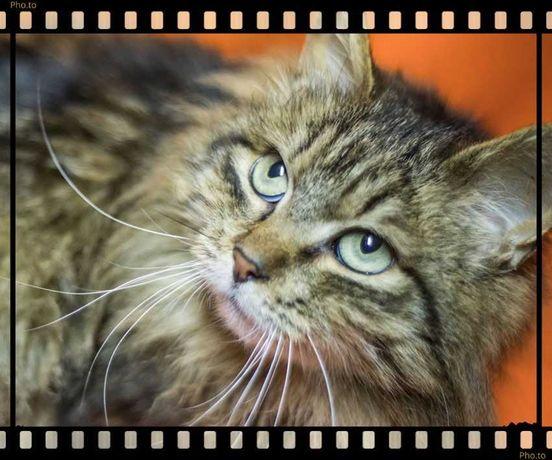Кішка розумниця, лагідна Надін, сіро-попеляста, 1 рік, стерилізована