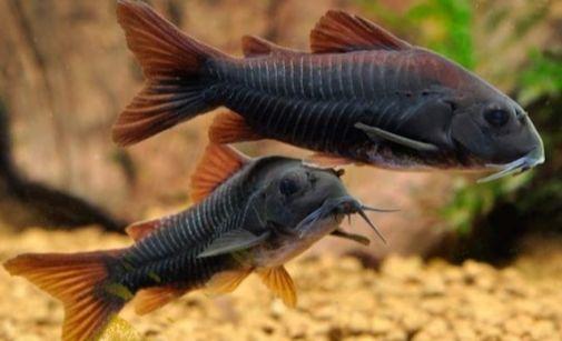 kirysek czarny