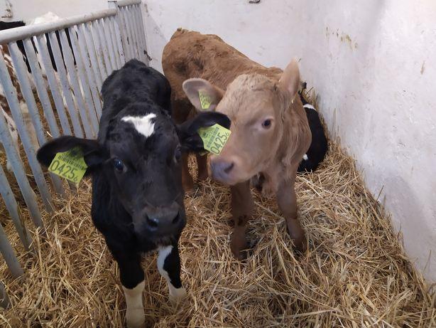 Sprzedam cielęta byczki i jaloszki