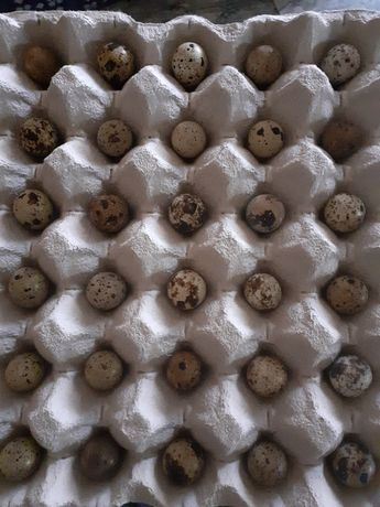 Ovos de codornizes de vôo bravas