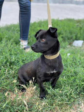 Чудесный мелкий пёсик/собака Бильбо ( 11 месяцев), вес 5 кг