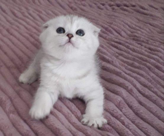 Шотландские котята серебристая шиншилла