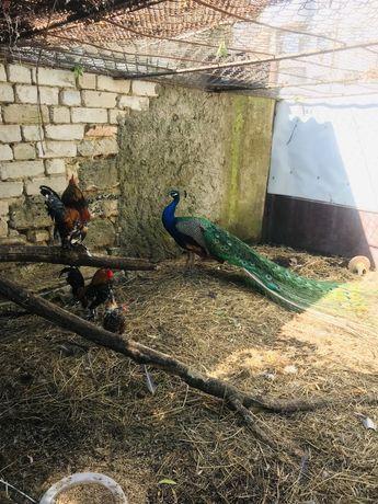 Декоративная птица, Павлины Фазаны