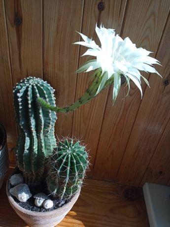 домашние растения - кактус, филодендрон, спатифиллум, сингониум