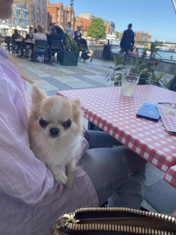 Chihuahua długowłosa FCI