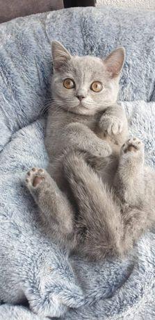 Kot Brytyjski Kocięta Brytyjskie Niebieskie z Rodowodem