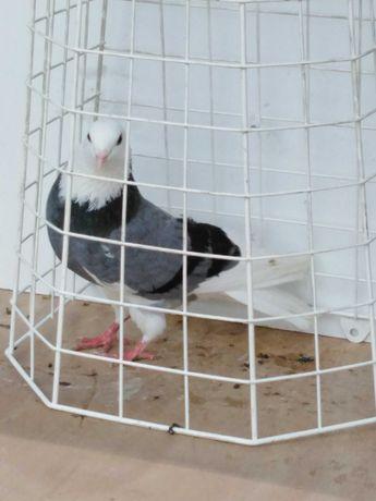 Gołębie rollery angielskie