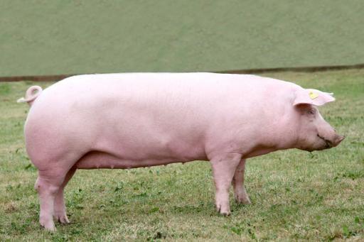 Продам свиней породы Ландрас,Оптимус,Максимус,Украинская белая.