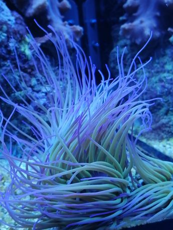 Anemonia viridis ukwiał