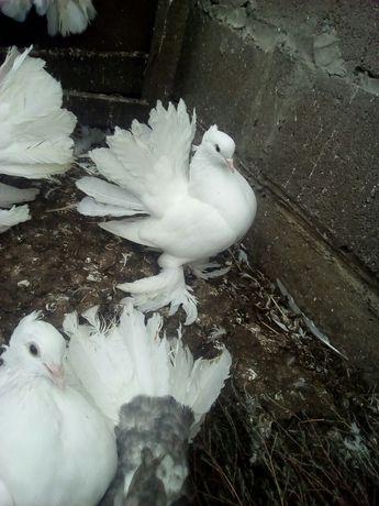 Продам елітні голуби породи індійські павлин павліни(павич)