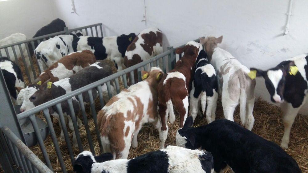 Sprzedam cielaki byczki jaloszki Rypin - image 1