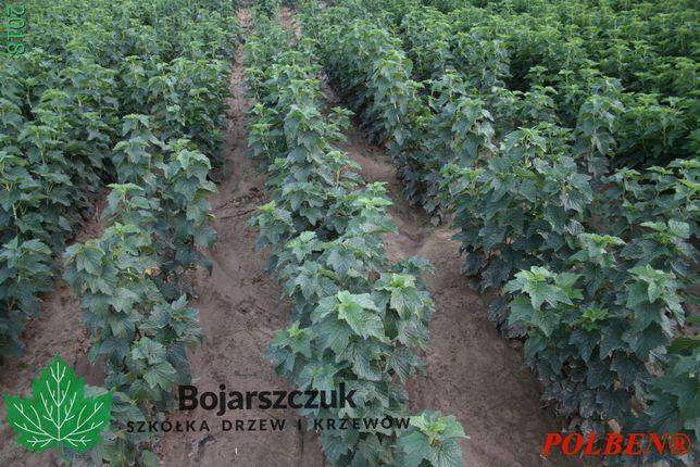 Sadzonki porzeczki czarnej POLBEN® (licencja) NAJNOWSZA ODMIANA 2020
