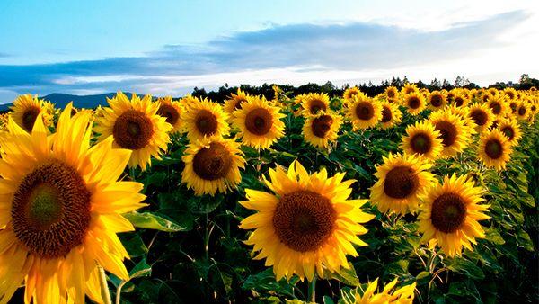 Насіння соняшнику, семена подсолнечника, подсолнуха Евро clearfield