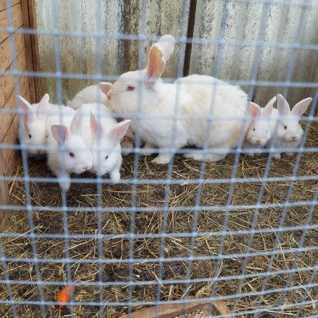 Młode króliki sprzedam