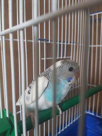 бело-голубой попугайчик