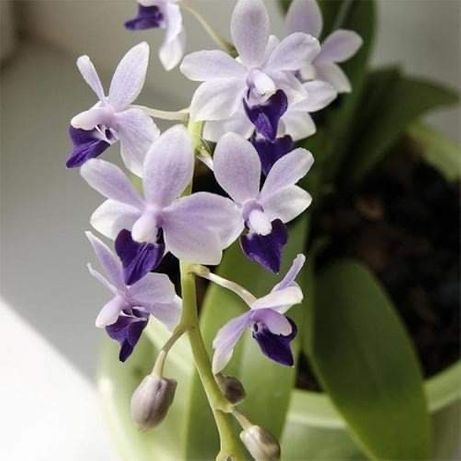Орхидея с цветоносом
