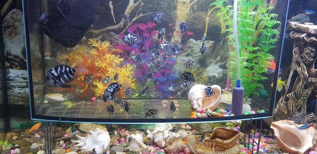 Рыбки аквариумные гибрид Голубой попугай