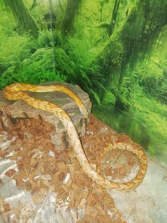 Wąż zbożowy  z całym wyposażenieniem
