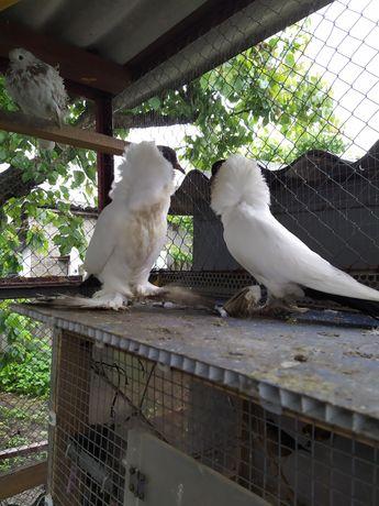 Продам голубей шмалькаденский черноголовый молодые