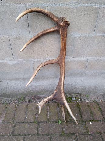 Poroże jelenia - zrzut 16-tak 3,20 kg