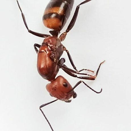 Mrówki Camponotus nicobarensis
