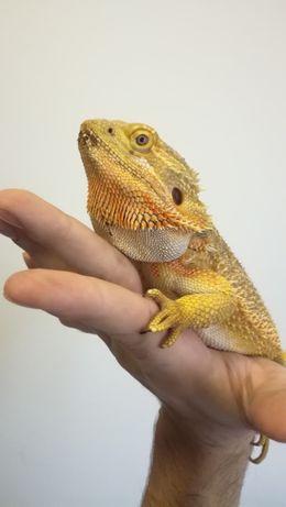Agama brodata dorosły ładny samiec jaszczurka