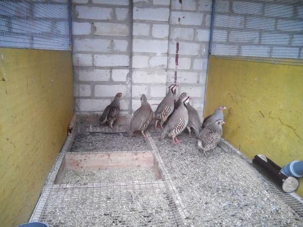 Дичь (куропатки,фазаны,утки дикие)