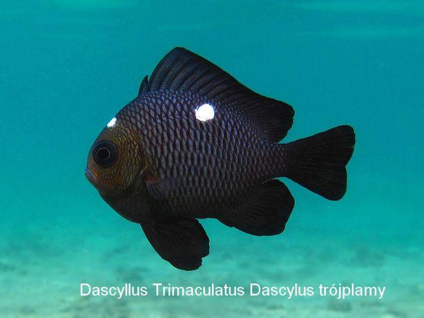 Dascyllus Trimaculatus Dascylus trójplamy ryba akwarium morskie