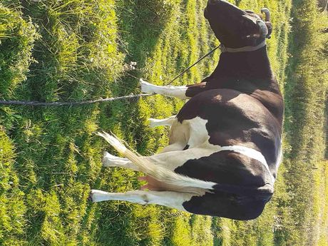 Продам високо продуктивну корову