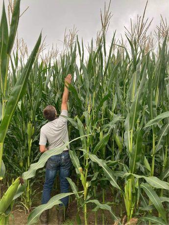 Sprzedam kukurydze 17 ha