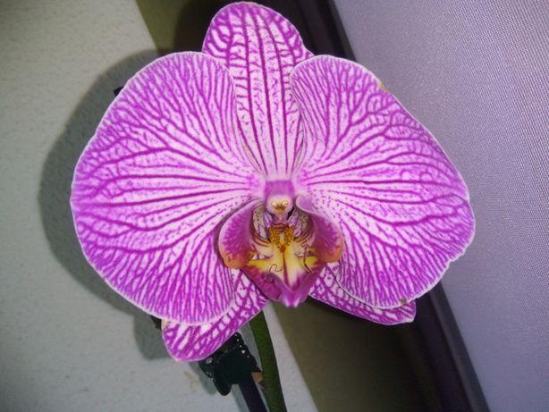 Продам детку орхидеи.