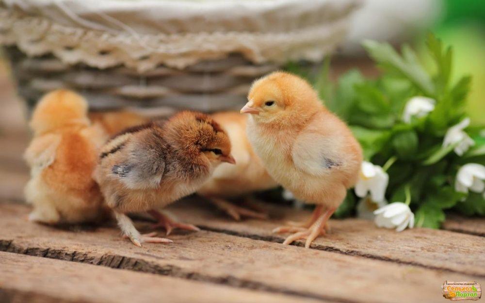 Суточные цыплята мясо-яичные и яичные: Мастер Грей, Редбро, Голошейка