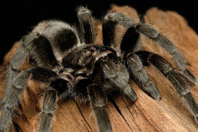Тарантули Павуки птахоїди нове захоплення для вас Пауки птицееды
