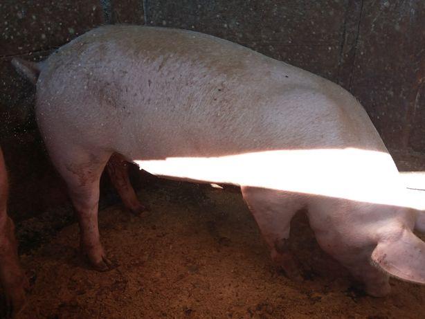 Свиноматки.Ремонтні льошки