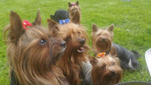 york reproduktor, yorkshire terrier reproduktor