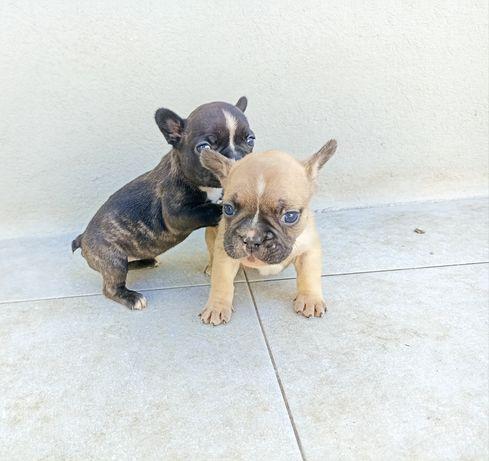 Bulldog Francês Filhote Lindo (Fawn)