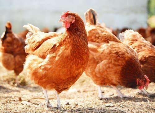 Бройлер цыплята куры Доминант Ломан Браун несушки курочки