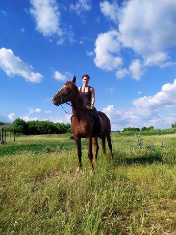 Продам коня, кобылу рысачка