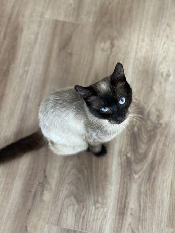 Кіт сіамець породистий, 2 роки