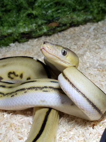 Wąż nie królewski siatuś samica
