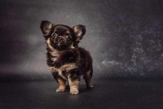 Chihuahua tricolor piesek długowłosy ZKwP FCI