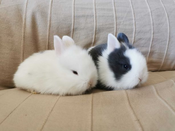 KIT completo coelhos anões angorá e teddy desparasitados